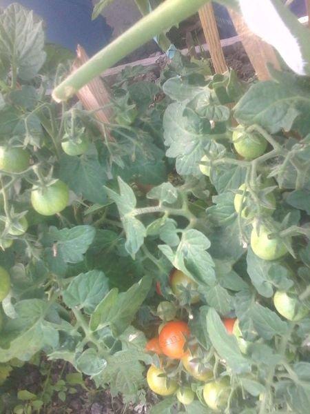 карликовые помидоры