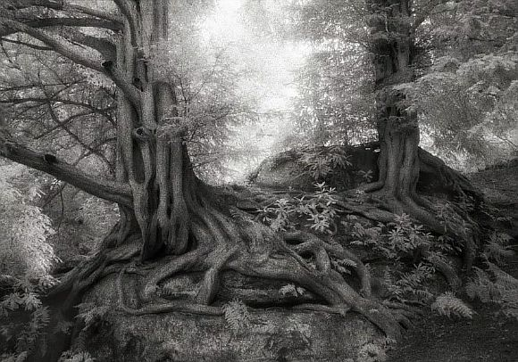 AncientTrees08