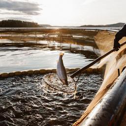 Форелеводческое хозяйство в Карелии. Фото пресс-службы регионального правительства