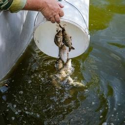 Рыбоводное хозяйство в Подмосковье – выпуск молоди карпа