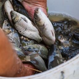 С 1 сентября вступили в силу новые ветеринарные правила для рыбоводных хозяйств