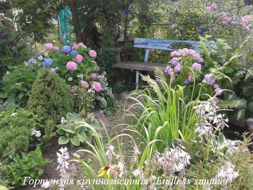 hydrangea-m.Endless-Summer-v-sadu