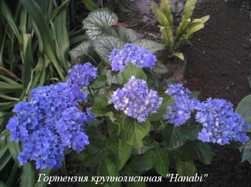 hydrangea-m.Hanabi