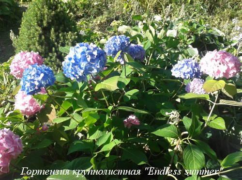hydrangea-m.Endless-Summer