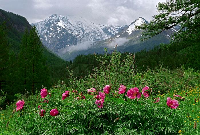 wild-peonies-pavel-filatov- (700x473, 579Kb)