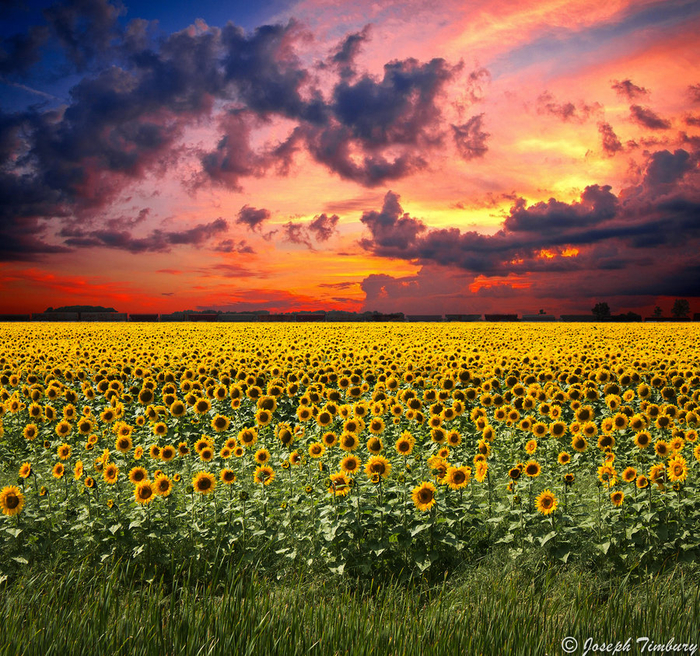 sunflower_sunset_by_josephtimbury-d6ib85o (700x656, 793Kb)