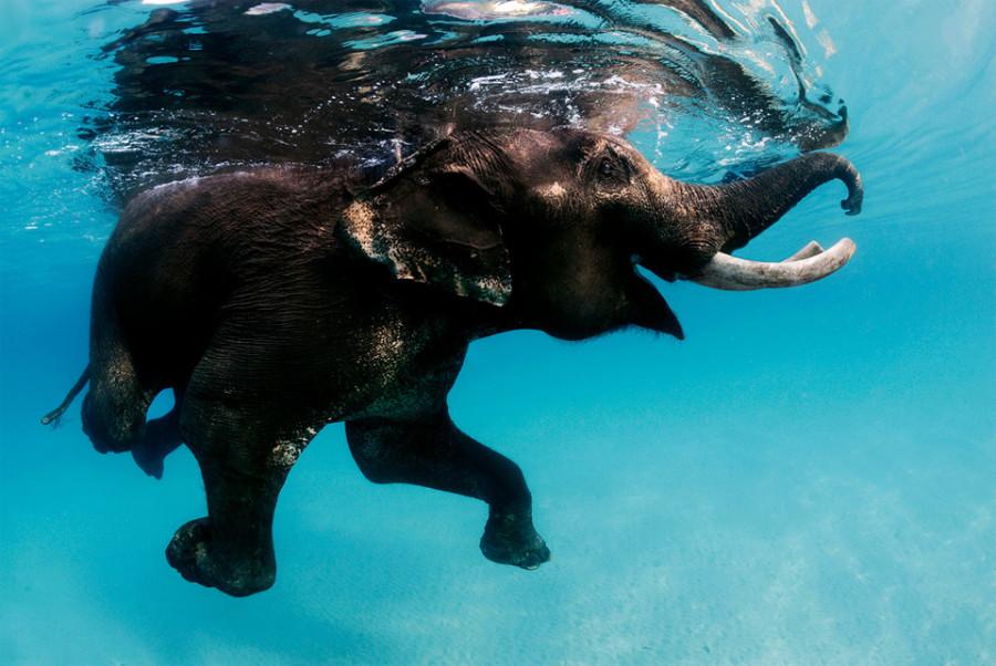 Удивительный мир слонов swimming-elephant-andaman-islands