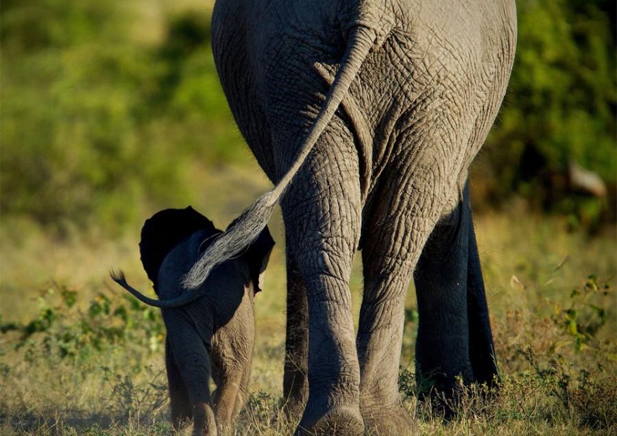 Удивительный мир слонов elephant-mom-and-calf